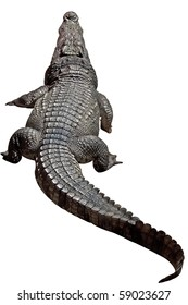 Large size crocodile resting - isolated object with clipping path.