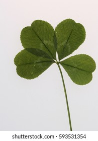 Large size natural green clover four petals on a long stem, to bring good luck.