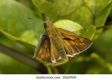 Large Skipper Butterfly - Ochlodes venata, male