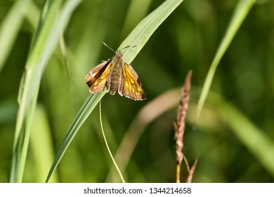 A large skipper butterfly on a grass blade. Location: Western Siberia.
