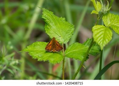 Large Skipper Butterfly on Leaf in Springtime
