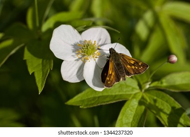 A large skipper butterfly on white anemone flower (nature of Western Siberia).