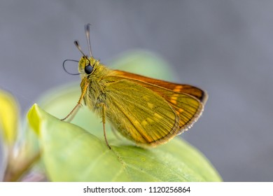 Large skipper (Ochlodes sylvanus) is a butterfly of the family Hesperiidae