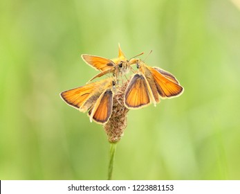 Large skippers - Ochlodes sylvanus on  flower - Vogelsang Eiffel Germany spring 2018