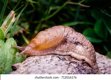 A large slug crawling around on the ground leaving its slime all over the place.  The slug is brown.