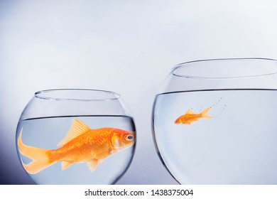 Large and small goldfish, in contrasting size bowls, face to face themes of scale contrasts overgrown