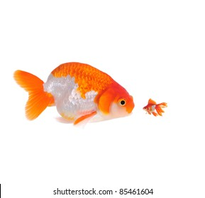 large and small goldfish showing different competition