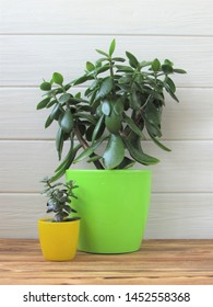 Large and small houseplant in front of a white wall. Floriculture. Crassula. Small and big.