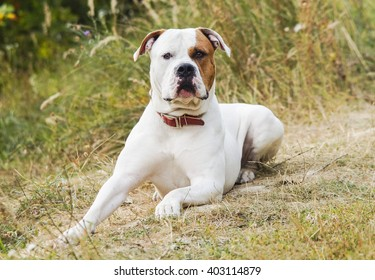 large smooth-haired white dog with brown spot on head sitting on the grass on a background of sand and trees
