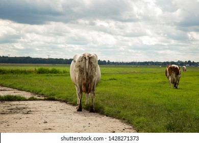 Large smutty backside of a cow walking away from the path into the green meadow under a heavy clouded sky.