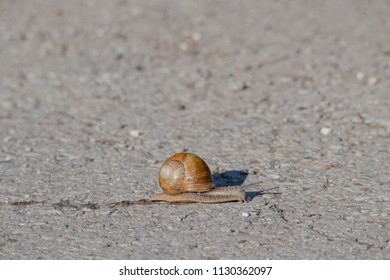 a large snail crawls over a paved road, leaving a trail of slime