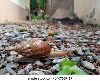 The large snails slowly crawled along the area with many small stones.