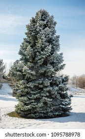Large snow-covered pine tree in winter