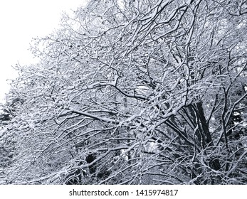Large snow-covered tree in the middle of winter, in Kamloops BC, Canada.