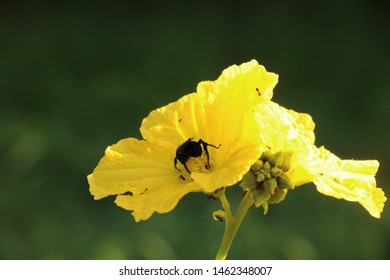 Large solitary bee on squash flower