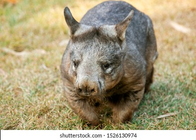 Large Southern Hairy-nosed Australian Wombat outside during the day.