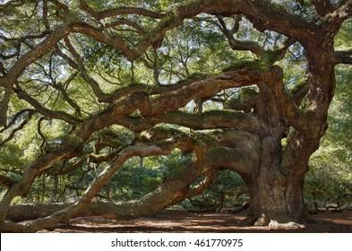 Large southern live  Angel Oak Tree on John's Island, South Carolina, charleston