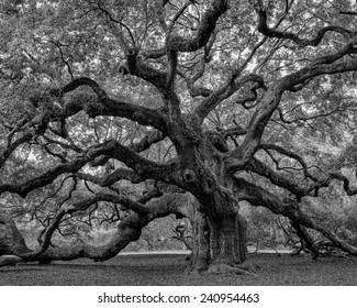 Large southern live oak (Quercus virginiana) near Charleston, South Carolina, soft focus