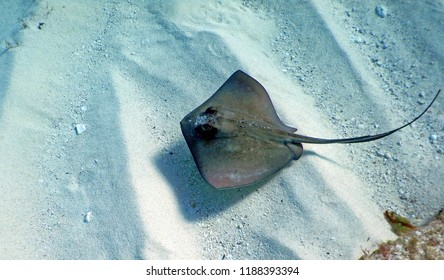 A large southern whiptail stingray (Dasyatis americana) with a olive grey, kite shaped body with spiny back, long barbed tail and bulging eyes swimming in clear crystalline water over rippling sand.