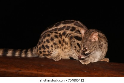 Large spotted Genet or Cape Genet (Genetta tigrina). This image was taken in South Africa.