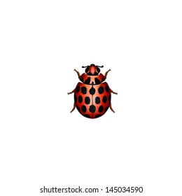 Large Spotted Ladybird (Harmonia conformis) is a species of ladybird from the family Coccinellidae.