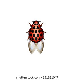 Large Spotted Ladybird (Harmonia conformis) is a species of ladybird from the family Coccinellidae