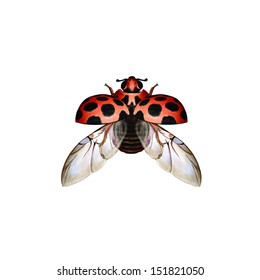 Large Spotted Ladybird (Harmonia conformis) is a species of ladybird from the family Coccinellidae wings  insect collection insect close up illustration sketch red black orange