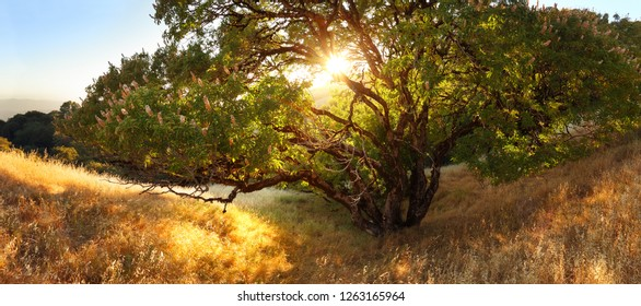 Large Sprawling Tree on Golden California Hillside at Sunset
