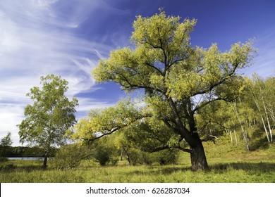 A large spreading acacia against the blue sky