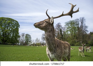A large stag deer with some female deer in the background