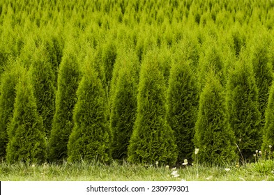 Large stand of arborvitae evergreen nursery trees in the Willamette Valley