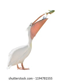 large standing pelican and jumping fish isolated on white background
