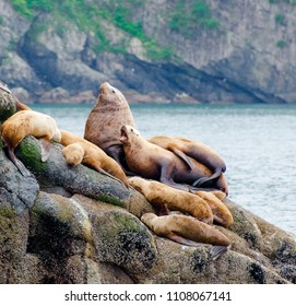 Large steller sea lion with harem and young sunning themselves on the edge of Ressurection Bay, Alaska, USA.