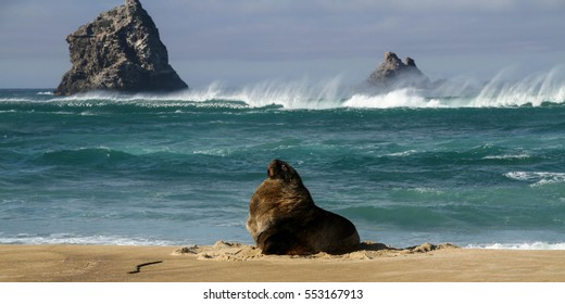 large steller sea lion relaxing on a windy beach