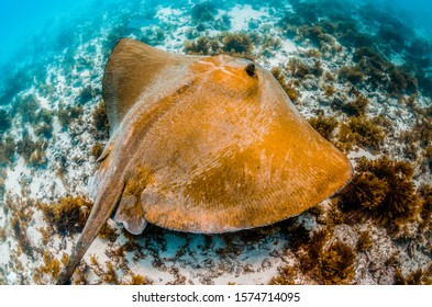 Large stingray swimming over colorful reef in clear blue water