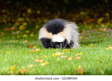 Large Striped Skunk at night in a Michigan yard.