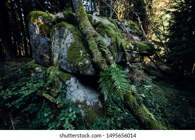 Large strong root of a tree growing over a stone. Dark mystical forest mood