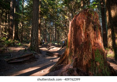 A large stump next to a hiking trail in an evergreen forest.