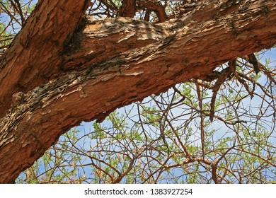 LARGE STURDY BRANCH OF ACACIA TREE
