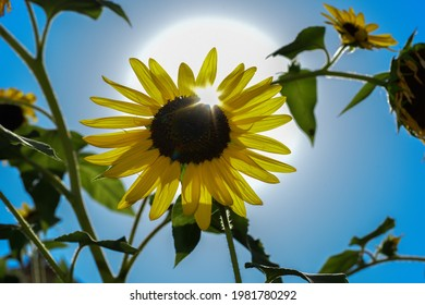 large sunflower in backlight on a clear sky day