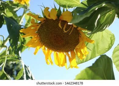 Large sunflower head in summer garden