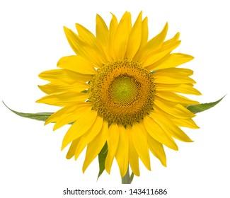 Large sunflower isolated on white background