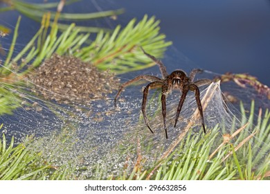 A large Swedish spider guarding her children