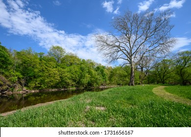 A large sycamore tree along the banks of the Raritan River in Nehanic Station, New Jersey.