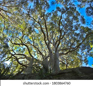 Large Sydney Blue gum Eucalyptus tree with vibrant green foliage against a background of bright blue skye