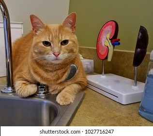 Large Tabby Cat Waiting for the Vet at the Doctor's Office. Cat is (miraculously) Chilling Out at the Sink and next to an Effective Kidney 3-D Diagram