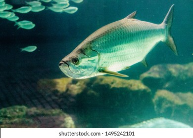 Large Tarpon fish Megalops atlanticus swims among a school of smaller fish.