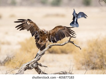 A large Tawny Eagle chasing away a crown as it lands on a dry tree. The crow almost jumping out of it's way.
