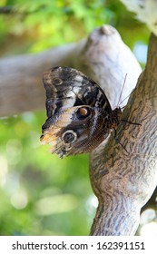 Large Tawny Owl Butterfly resting on a tree branch.