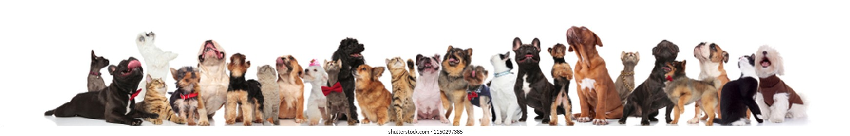 large team of curious pets wearing bowties and colorful collars looking up while standing and sitting on white background